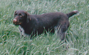 germanwirehair