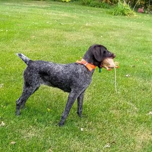 Dori, A German Wirehair Pointer