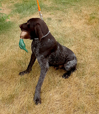 Gun Conditioned Hunting Dog
