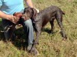 Hugo 8 month old German Wirehair