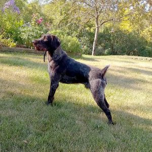 Another great Hunting dog from Funks Kennels